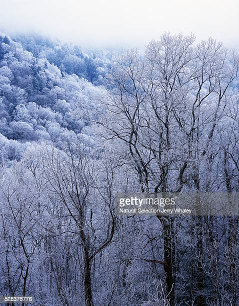 snow on forest trees, black-colored trunks, newfound gap road, great smoky mountains national park - newfound gap stock pictures, royalty-free photos & images