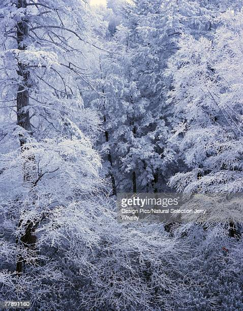 """snow on forest trees, black-colored trunks, newfound gap road, great smoky mountains national park"" - newfound gap stock photos and pictures"