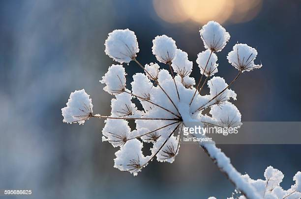 snow on giant hogweed head - giant hogweed stock pictures, royalty-free photos & images