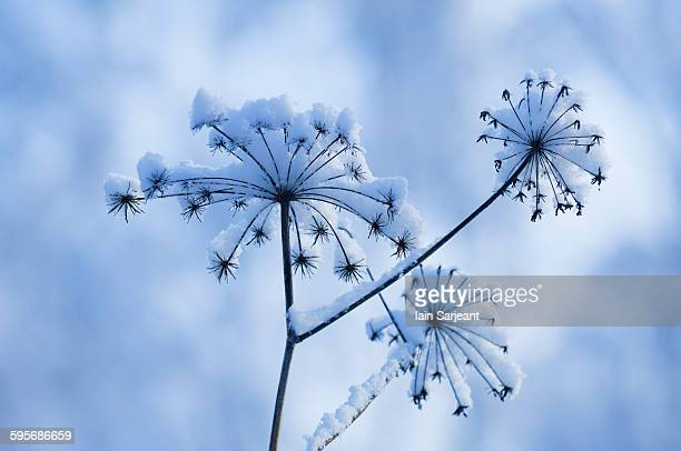 snow on giant hogweed heads - giant hogweed stock pictures, royalty-free photos & images