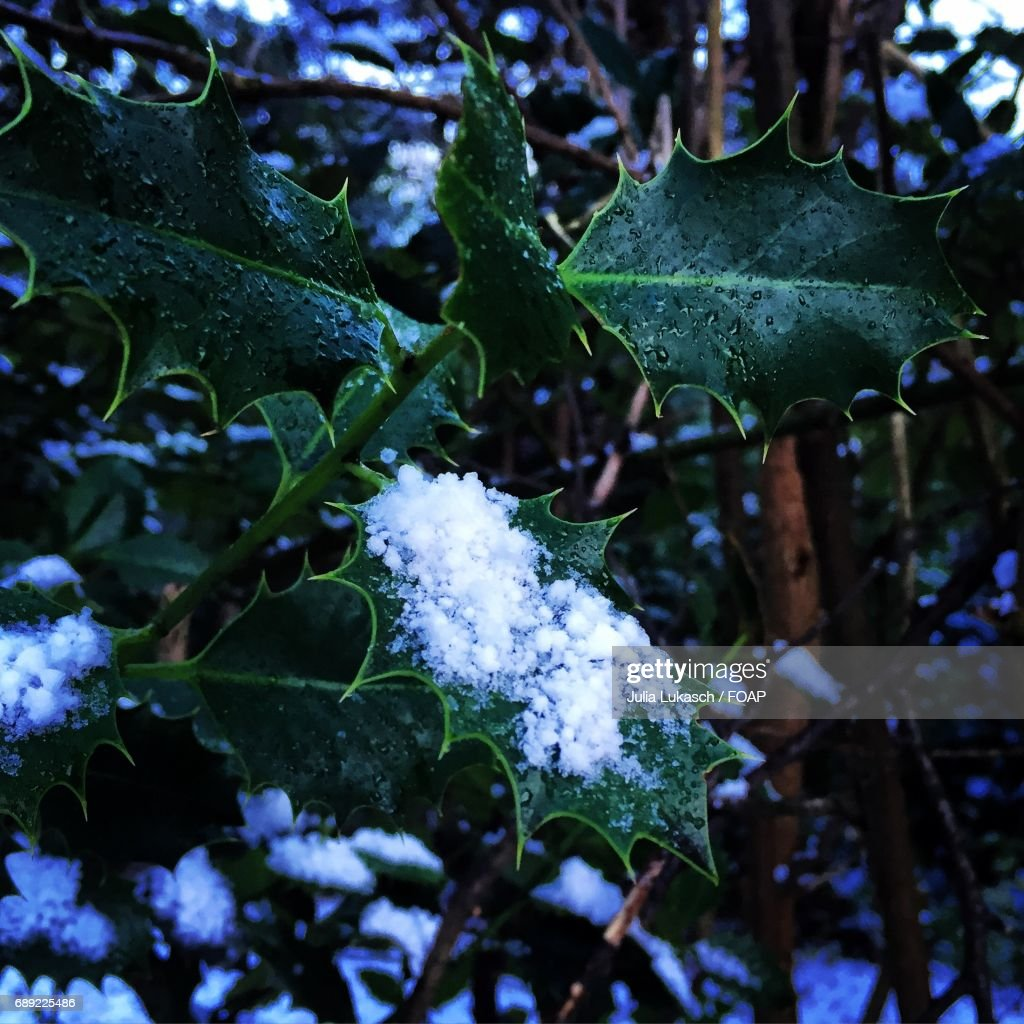 Snow on leaves : Stock Photo