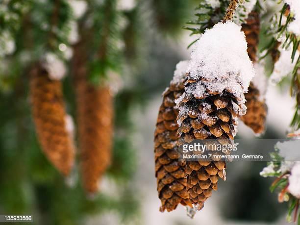 Snow on pine cones