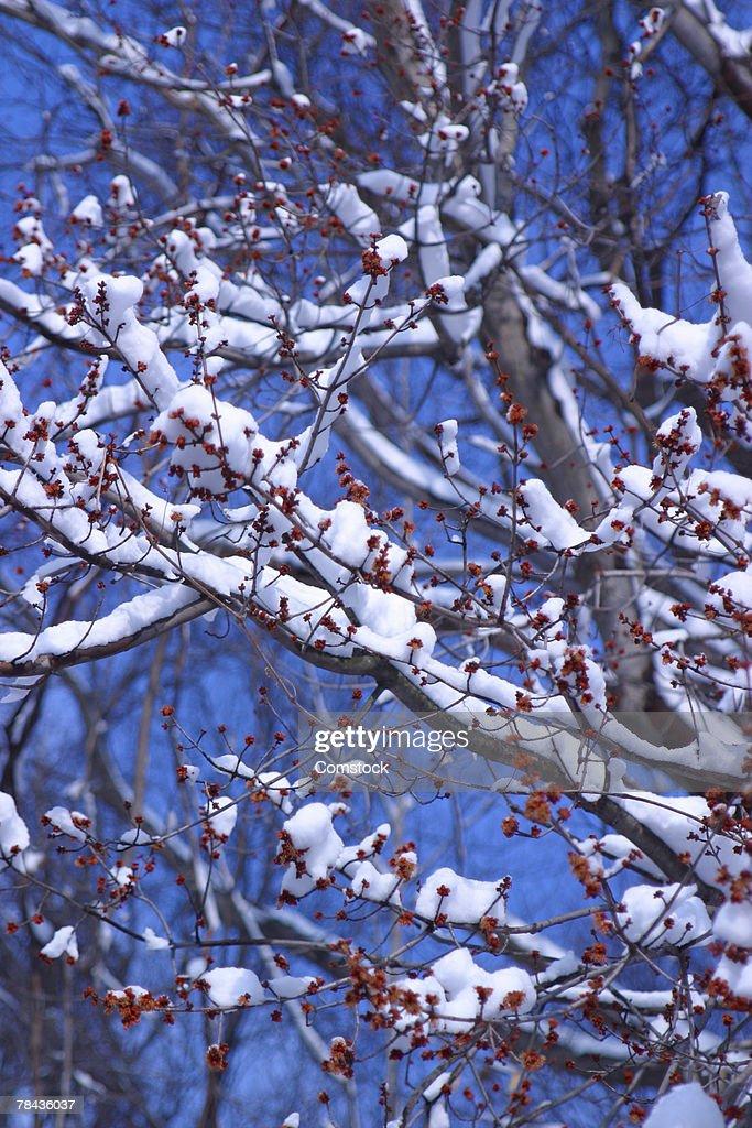 Snow on tree branches : Stockfoto
