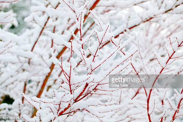 snow on tree - mt hood national forest stock pictures, royalty-free photos & images