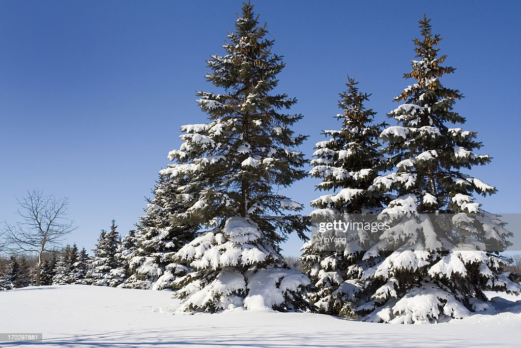 Snow on winter evergreen pine tree forest landscape - Images of pine trees in snow ...