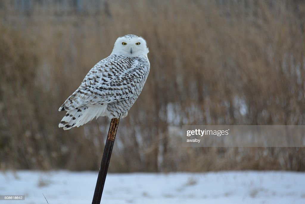 Snow Owl Perched : Stock Photo