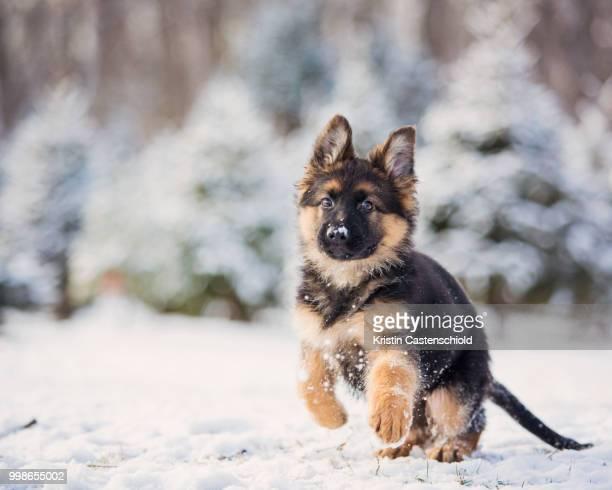 snow pups - pastore tedesco foto e immagini stock