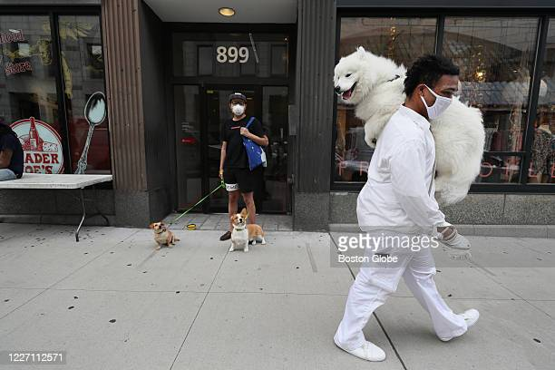 Snow Rune carries his one-year-old Samoyed, named Yuki, on Boylston Street in Boston on July 10, 2020. He is still training the dog who gets nervous...