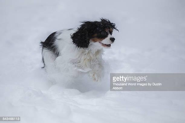 snow spaniel - dustin abbott imagens e fotografias de stock