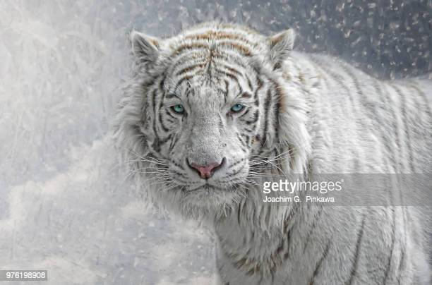 snow white - white tiger stock photos and pictures