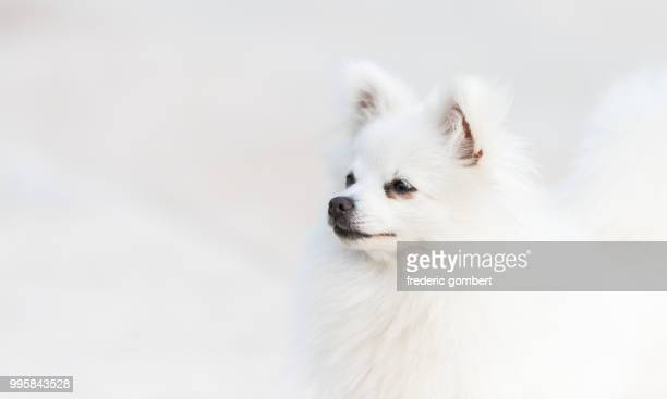 snow white - pomeranian stock photos and pictures