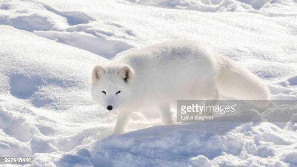 snow white - arctic fox stock pictures, royalty-free photos & images
