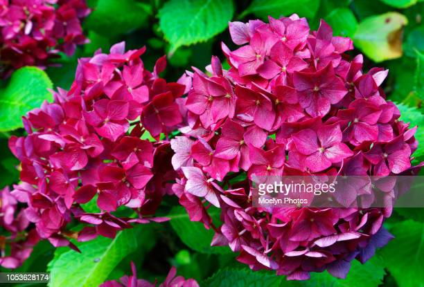 snowball flower cropped - hydrangea stock pictures, royalty-free photos & images