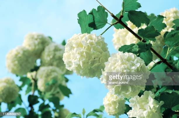 Viburnum Stock Pictures Royalty Free Photos Images Getty Images