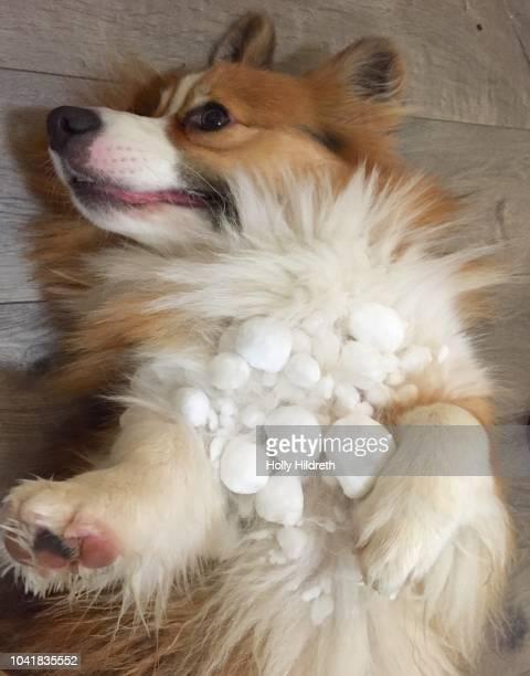 Snowballs in fur