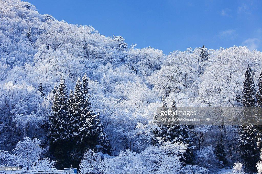 Snowcapped trees : Stock Photo