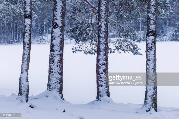 snowclad tree-trunks in the forest. - arne jw kolstø stock pictures, royalty-free photos & images