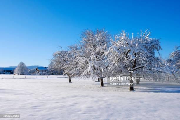 snow-covered apple trees, tattenkofen near dietramszell, upper bavaria, bavaria, germany - laubbaum stock-fotos und bilder