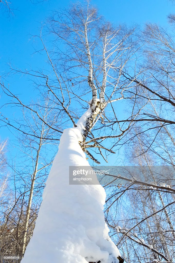 snow-covered birch trunk : Stock Photo
