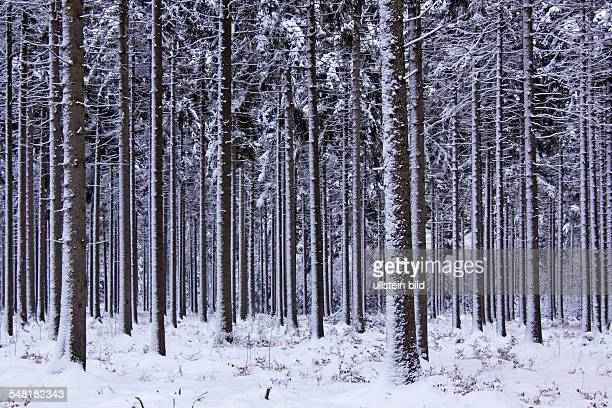 snowcovered coniferous forest in winter common spruce