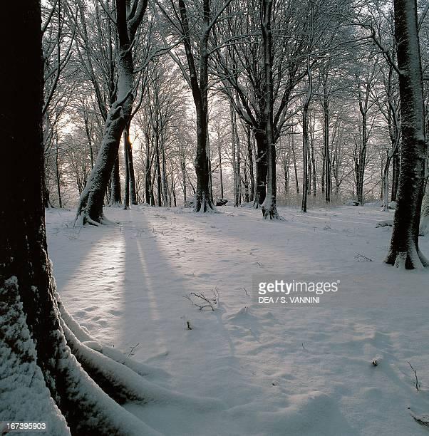 Snowcovered European beech wood in winter Lazio region Italy