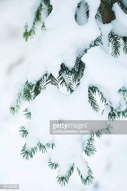 Snow-covered fir branches