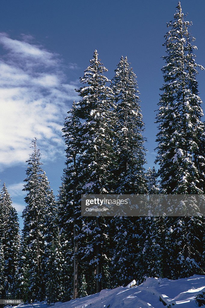 Snow-covered fir trees : Stockfoto