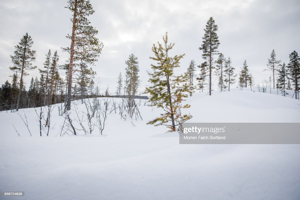 A Snow-Covered Forest in Rural Norway, Wintertime : Stock Photo