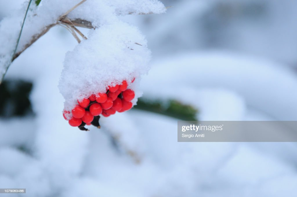 Snow-covered holly berries : Stock Photo