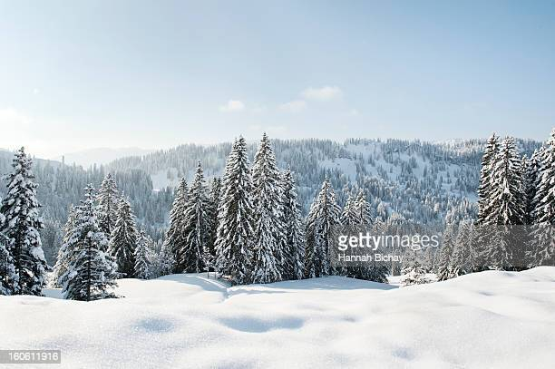 snow-covered landscape and evergreens in germany - european alps stock photos and pictures