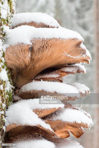 snow-covered oyster mushrooms (pleurotus ostreatus), hesse, germany - hesse germany stock pictures, royalty-free photos & images