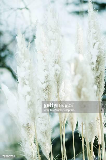 snow-covered pampas grass tufts - pampa stock-fotos und bilder