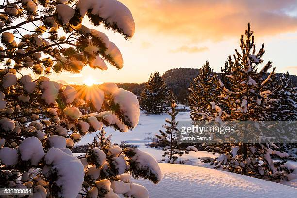 Snow-covered spruce at sunset