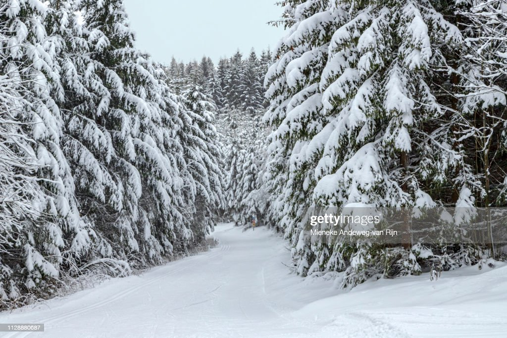 Snow-covered spruce trees in a wintry landscape, in the Sauerland, Germany : Stock Photo