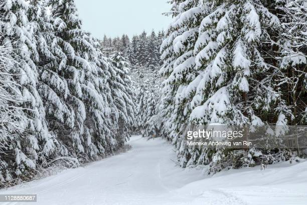 Snow-covered spruce trees in a wintry landscape, in the Sauerland, Germany