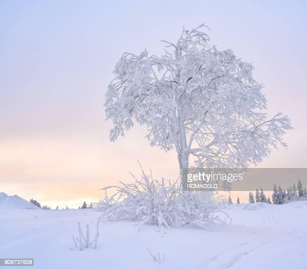 besneeuwde boom in nordmarka, oslo noorwegen - diepe sneeuw stockfoto's en -beelden