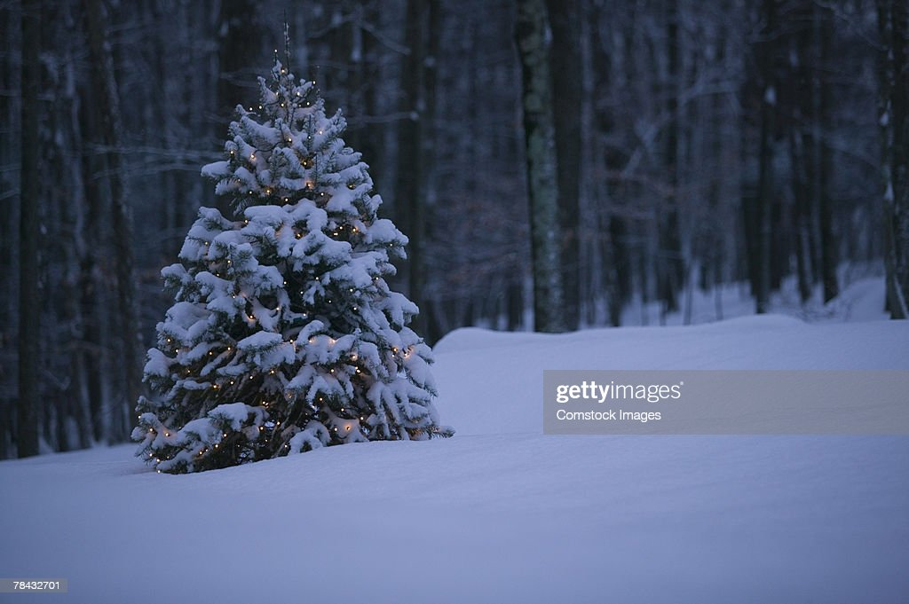 Snow-covered tree : Stockfoto