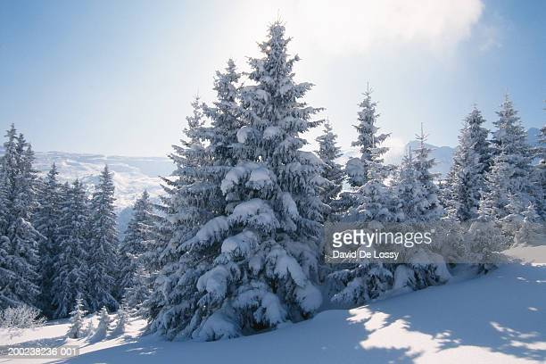 Snow-covered trees and mountains