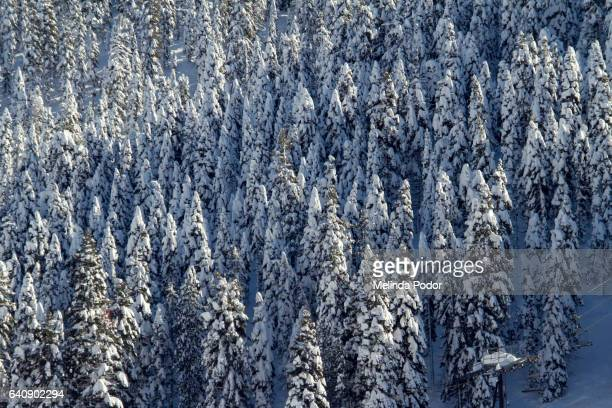 Snow-covered trees in the Sierras