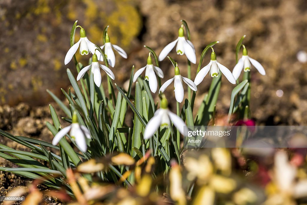 Snowdrop bloom in springtime : Stock Photo