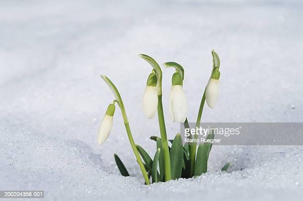 Snowdrop (Galanthus nivalis) in snow, winter