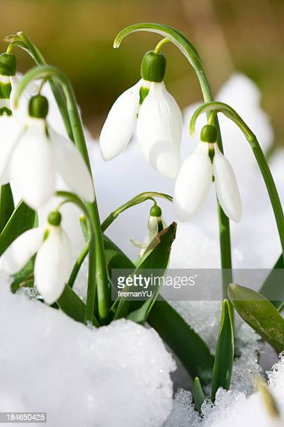 snowdrop - snowdrop stock pictures, royalty-free photos & images