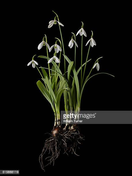 snowdrop plant on black background, showing bulbs.
