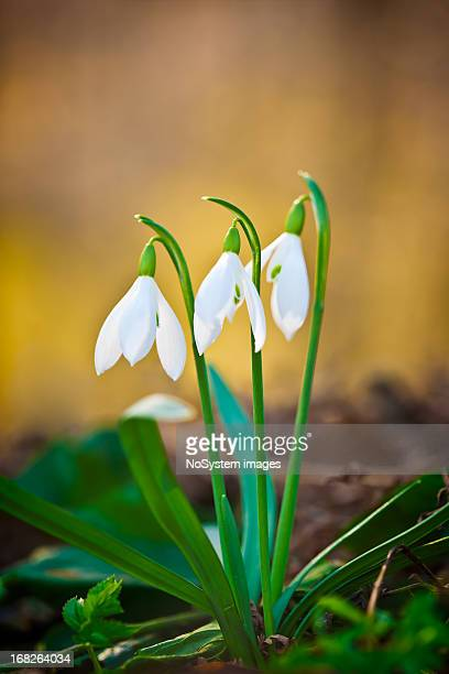 snowdrop - sign of spring - snowdrop stock pictures, royalty-free photos & images