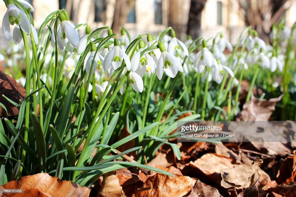 Snowdrops flowers and dead leaves : Stock Photo