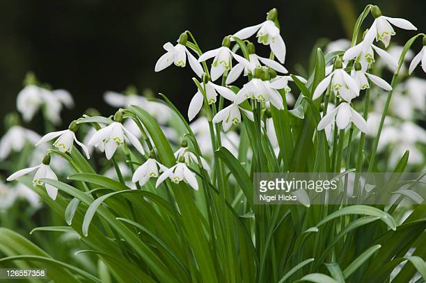 snowdrops, galanthus nivalis, in flower in march, teignmouth, devon, great britain. - snowdrop stock pictures, royalty-free photos & images
