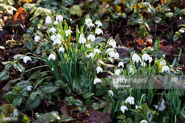 Snowdrops grow amongst Ivy in Oxfordshire woodland England United Kingdom