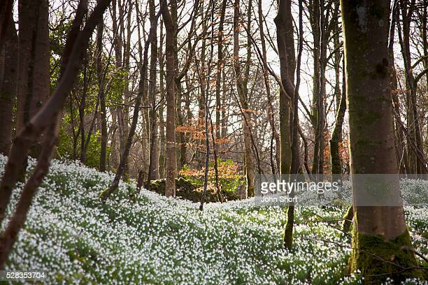 snowdrops (galanthus) growing on a forest floor; gatehouse of fleet dumfries scotland - snowdrop stock pictures, royalty-free photos & images