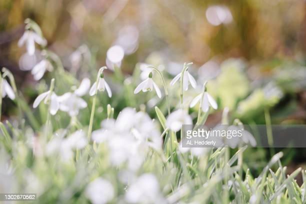 snowdrops in a cornish garden - garden stock pictures, royalty-free photos & images