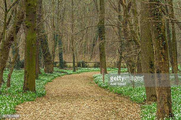 Snowdrops in Hungary